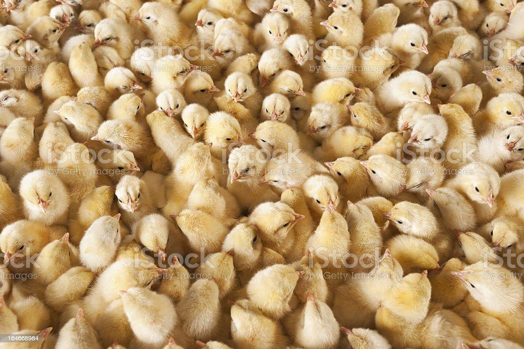 baby chicks stock photo