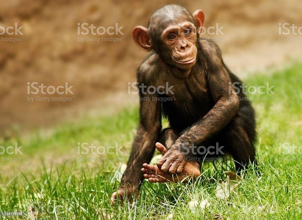 Baby Chimpanzee royalty-free stock photo