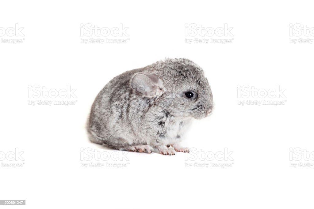 Baby chinchilla isolated on white royalty-free stock photo
