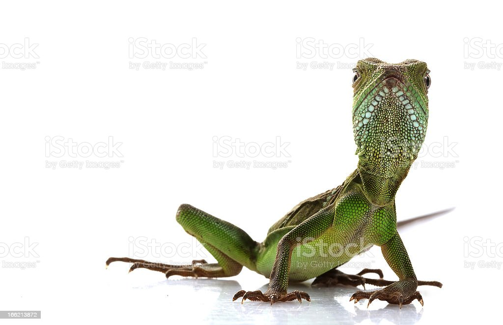 Baby Chinese Water Dragon royalty-free stock photo
