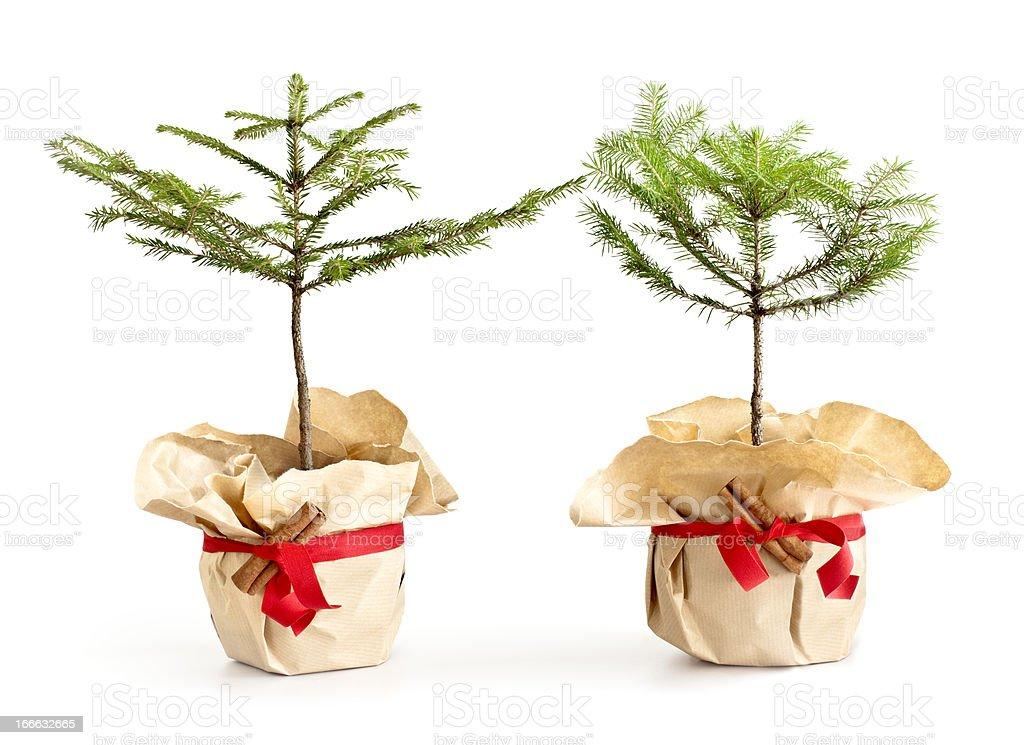 Baby Christmas trees royalty-free stock photo