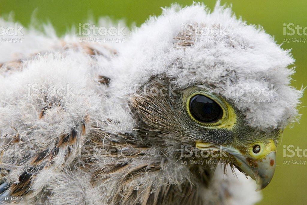 Baby Common Kestrel Falcon stock photo