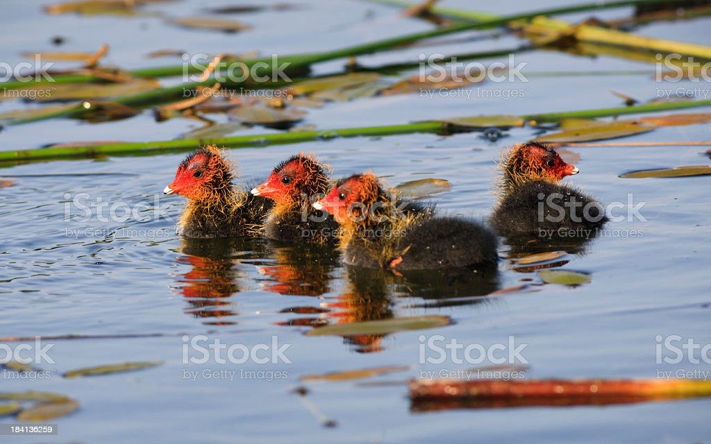 Baby coots swimming in a pond royalty-free stock photo