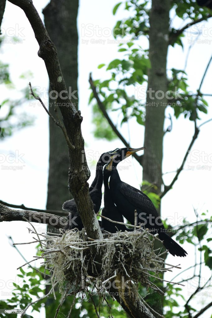 Baby Cormorants and parent in nest, with heads pointing same way stock photo