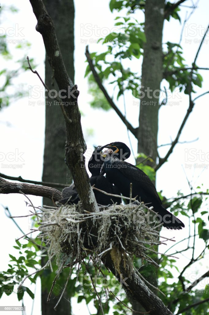 Baby Cormorants in nest, getting food from parent stock photo