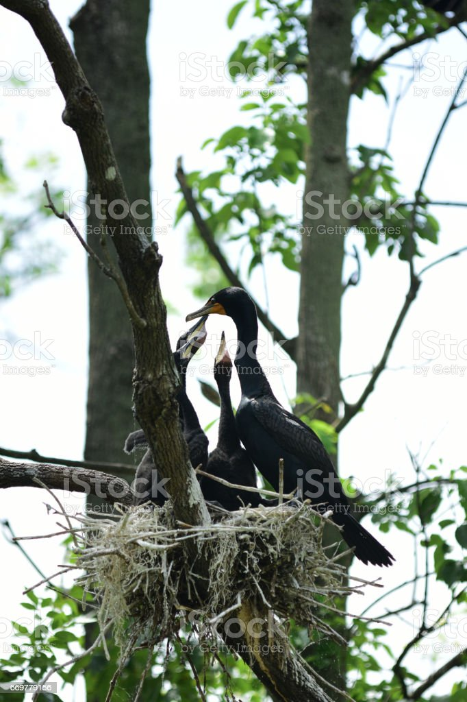 Baby Cormorants in nest, trying to get food from parent stock photo