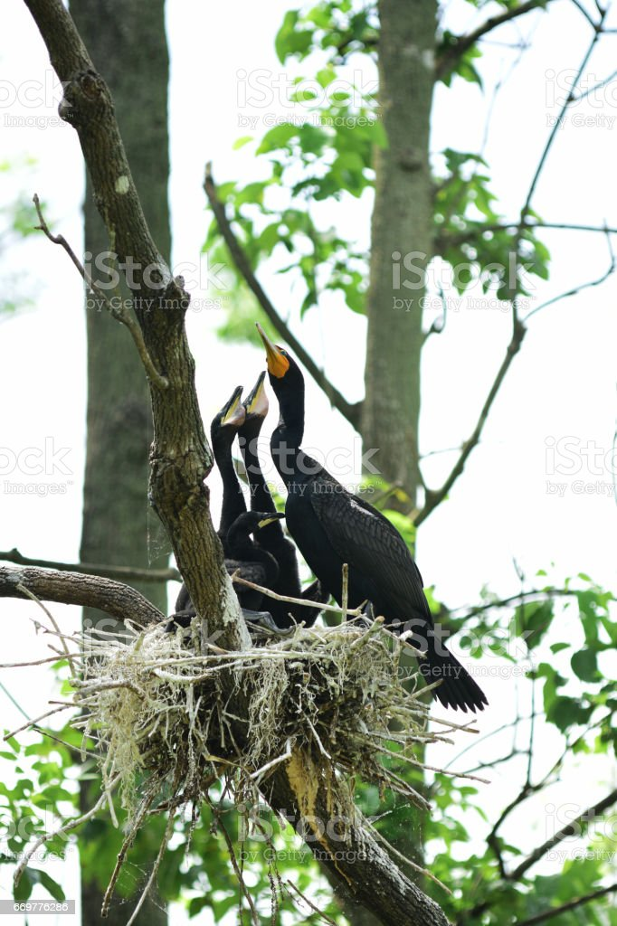 Baby Cormorants in nest with heads pointing up, begging the parent for food stock photo