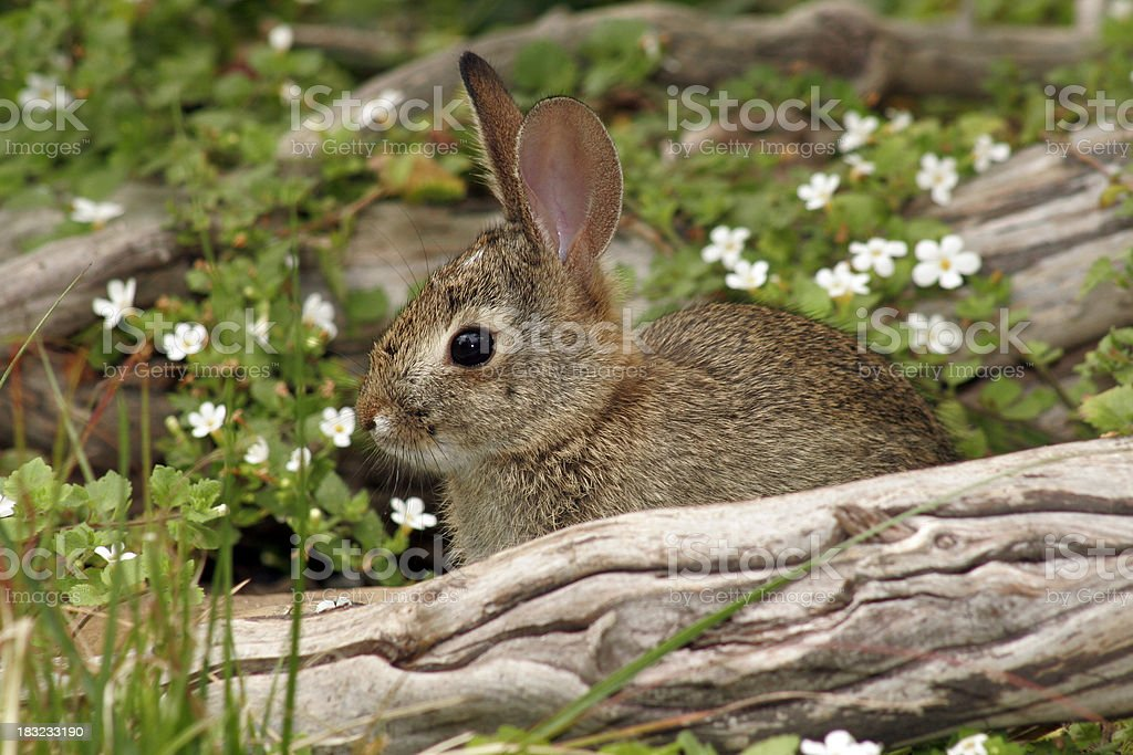 Baby Cottontail stock photo