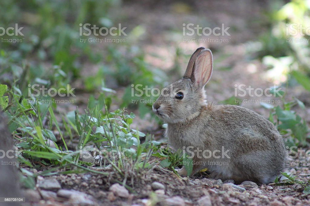 Baby Cottontail Rabbit stock photo