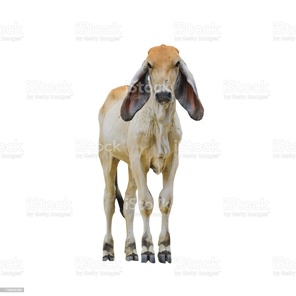 baby cow standing and looking on isolate white background royalty-free stock photo