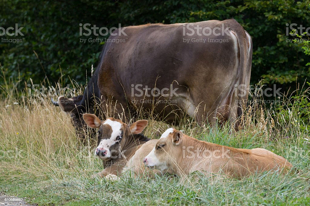 Baby cows on a mountain pasture looking at the camera stock photo