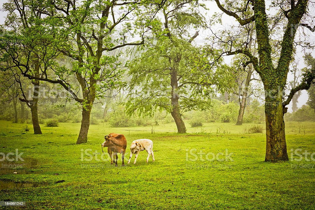 baby cows royalty-free stock photo