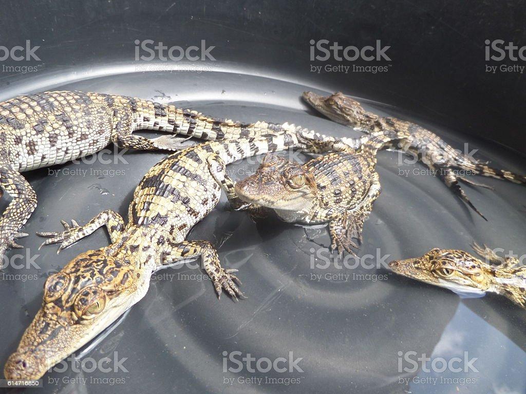 Baby Crocodile in Shallow Bucket stock photo
