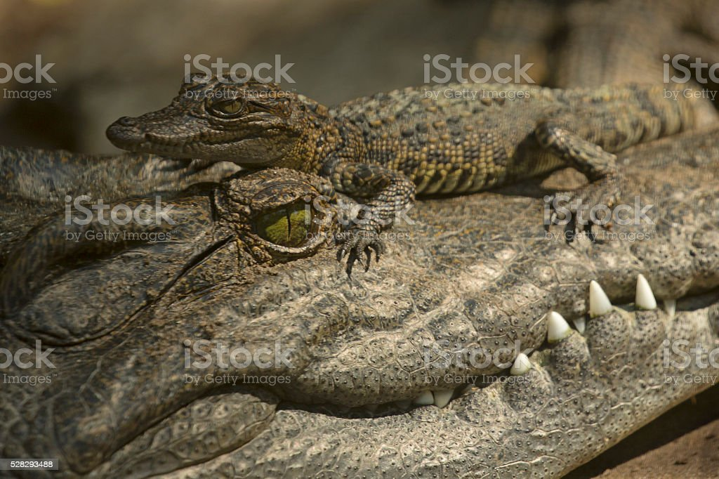 Baby Crocodile on Adult's Head stock photo