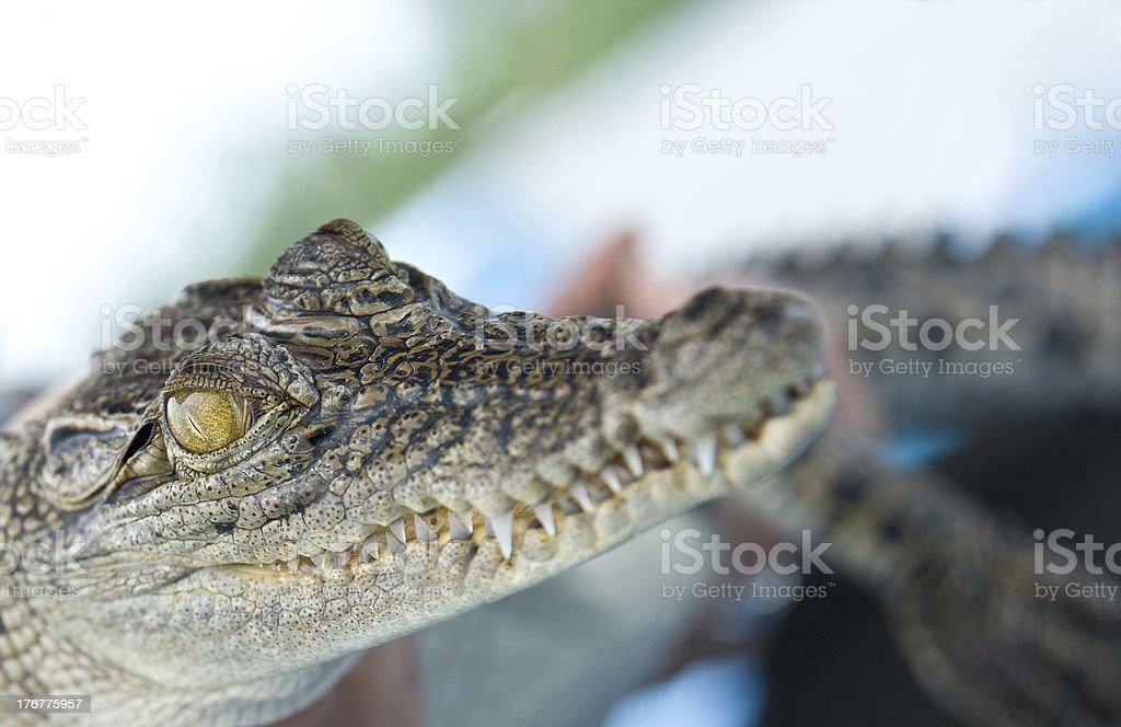 baby crocodile royalty-free stock photo