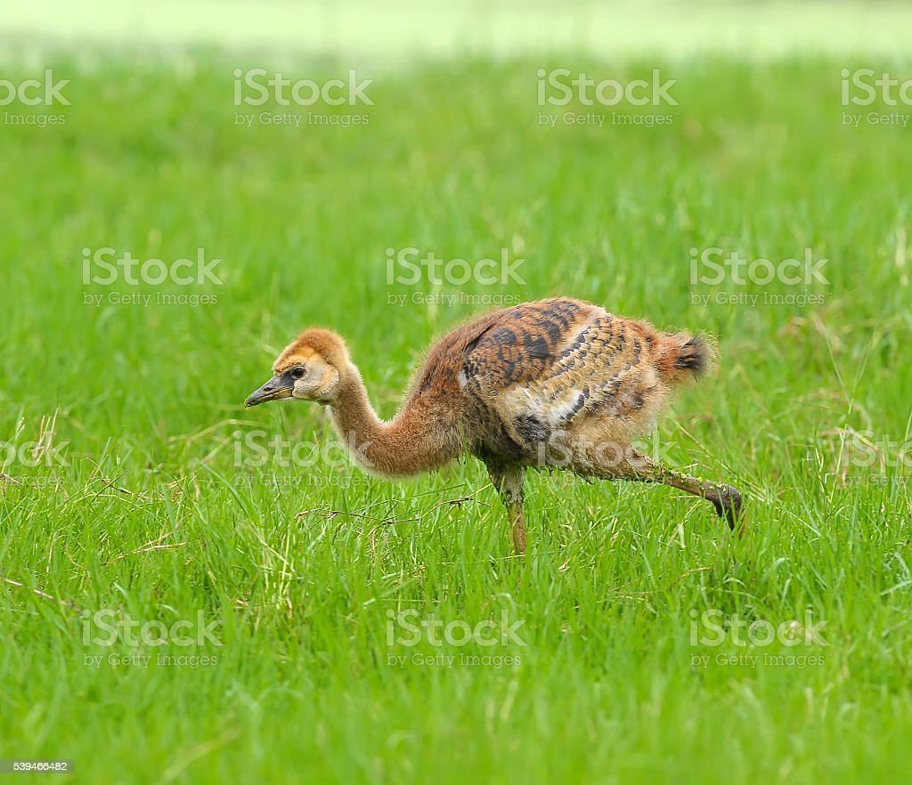 Baby crowned crane on green grass stock photo
