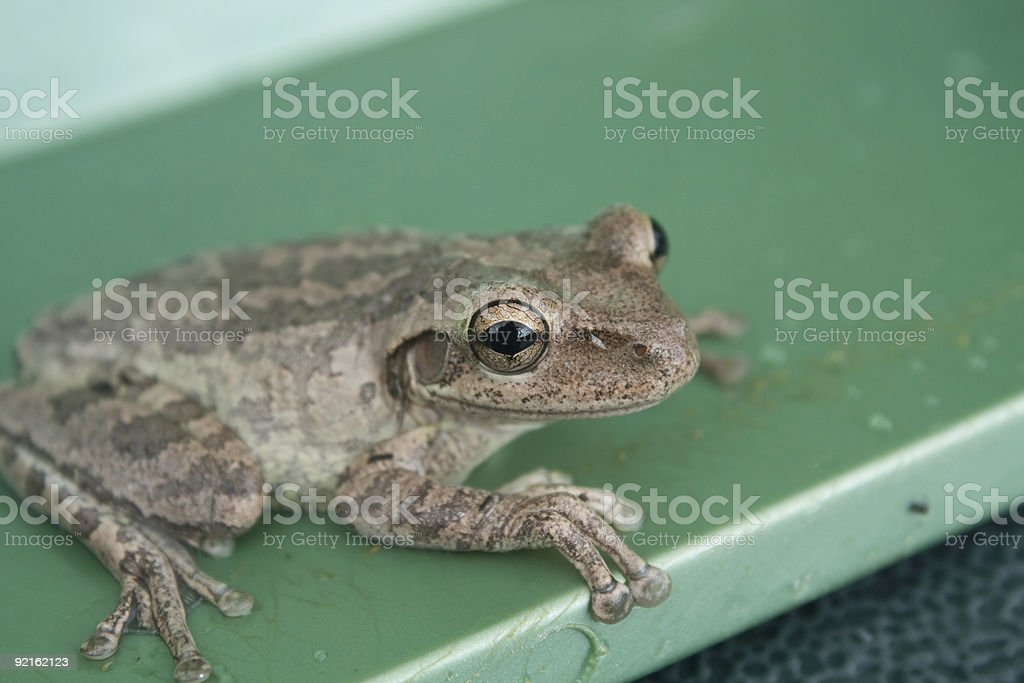 Baby Cuban Tree Frog stock photo