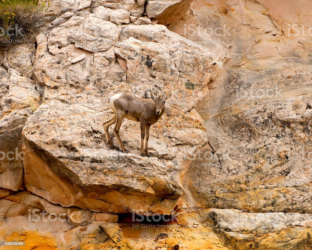 Baby Desert Bighorn Sheep, Capitol Reef National Park stock photo