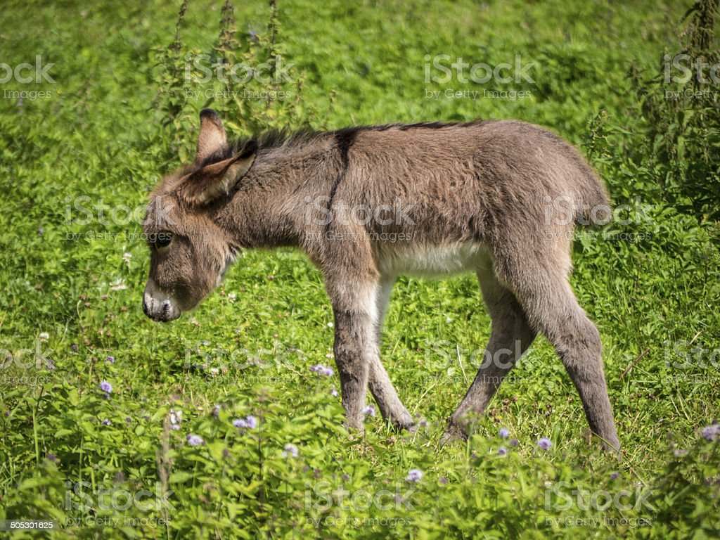 Baby donkey in field royalty-free stock photo