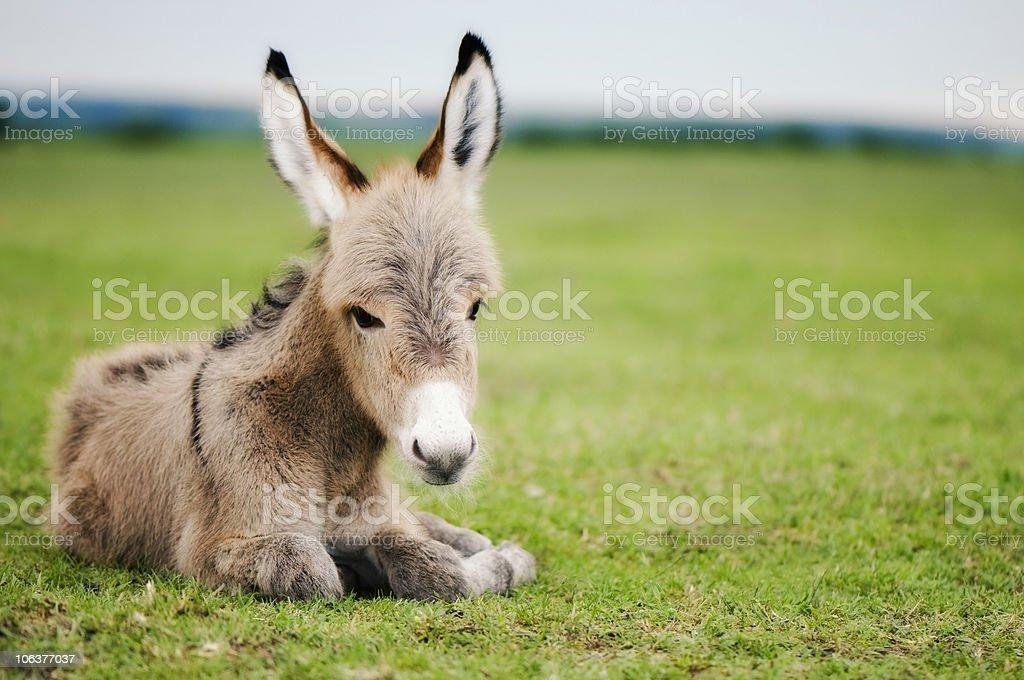 baby donkey royalty-free stock photo