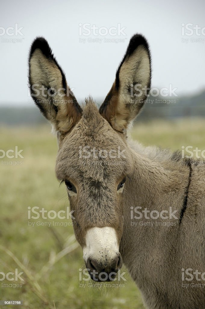 Baby Donkey royalty-free stock photo