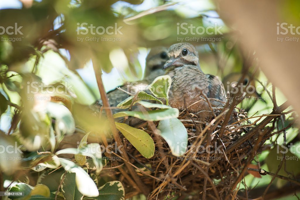 Baby Doves In A Nest stock photo