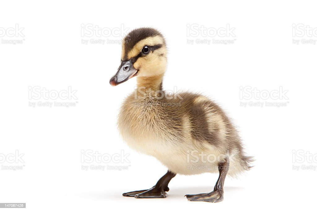 Baby duck on a white background stock photo