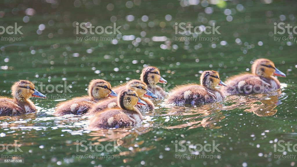 Baby duck stock photo