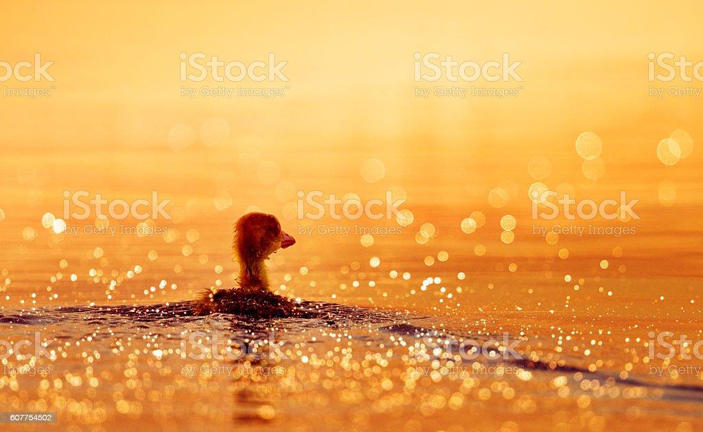 baby duck swimming stock photo
