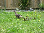 Baby Ducks following Mother