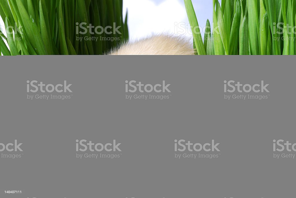 Baby Easter Chick in the Grass With Eye Contact royalty-free stock photo
