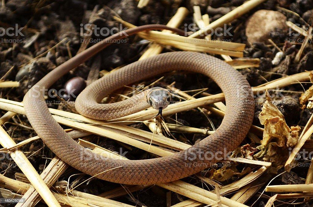 Baby eastern australian brown snake royalty-free stock photo