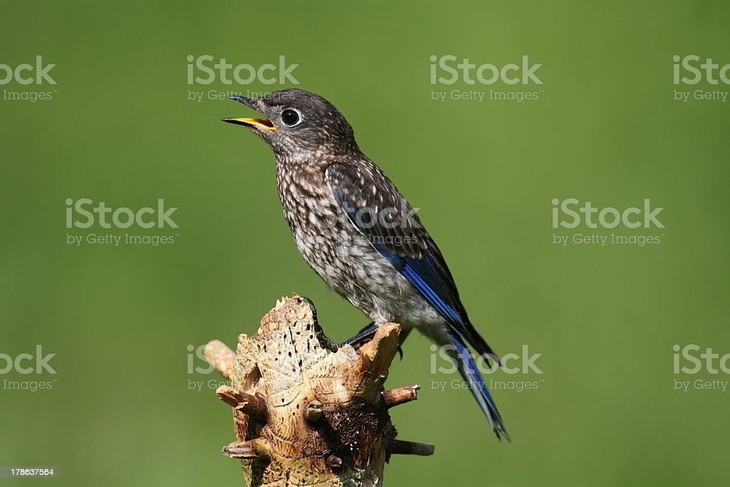Baby Eastern Bluebird royalty-free stock photo