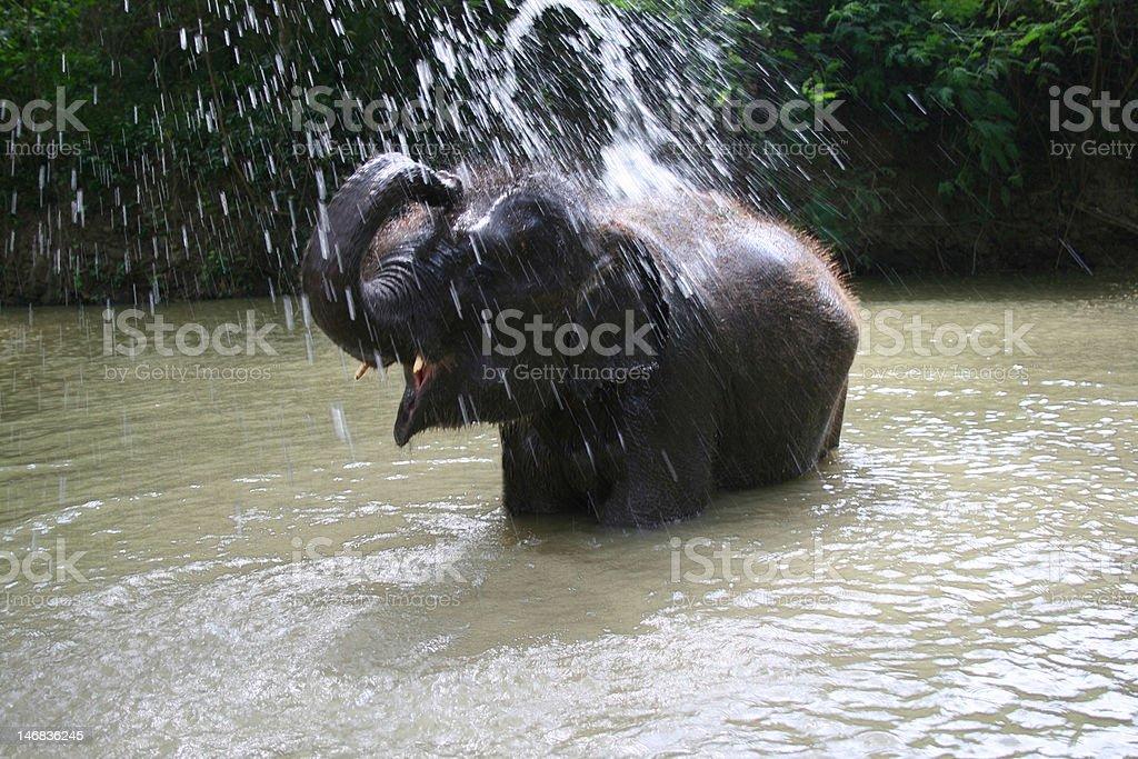 Baby elephant bathing royalty-free stock photo