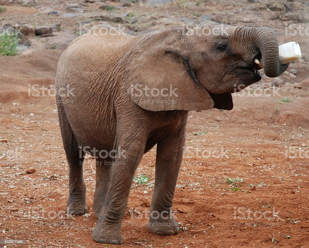 Baby Elephant Drinking from Bottle royalty-free stock photo