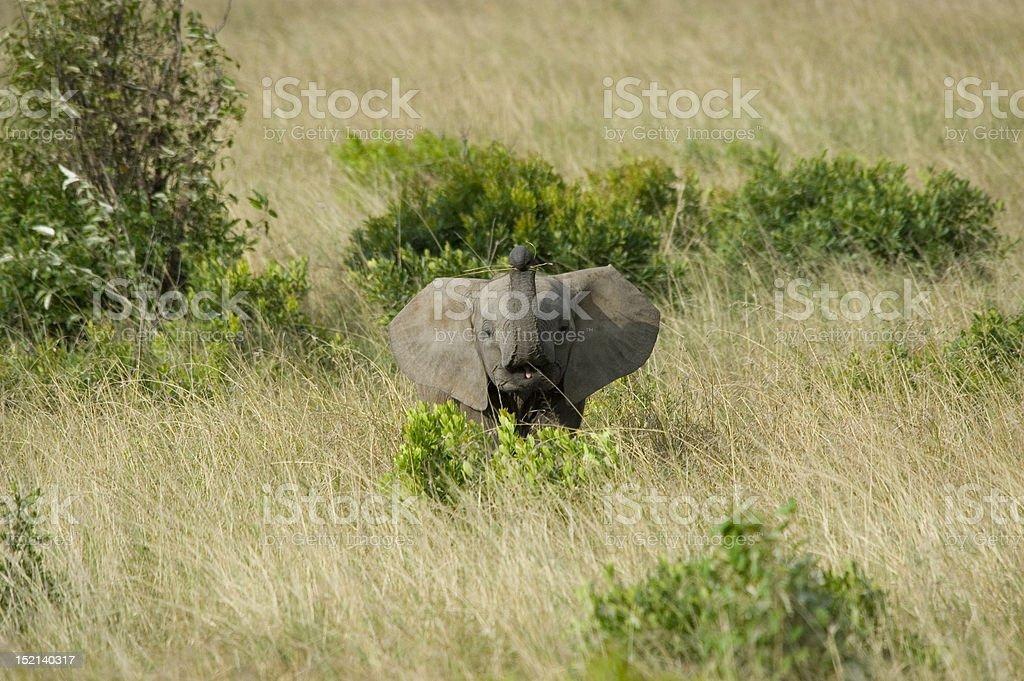 Bébé éléphant alimentation dans le Mara photo libre de droits