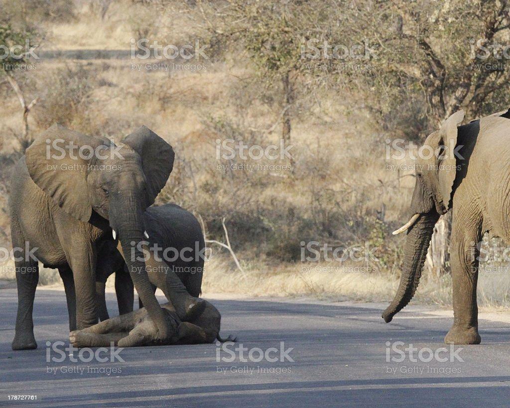 Baby elephant fell stock photo