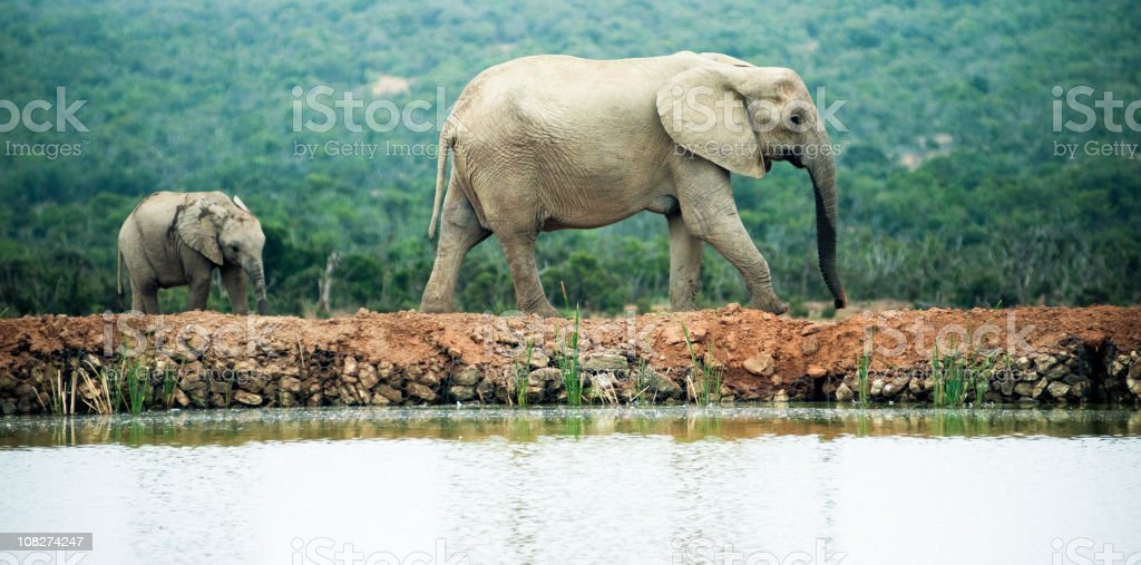 Baby Elephant Following His Mother Near Water royalty-free stock photo