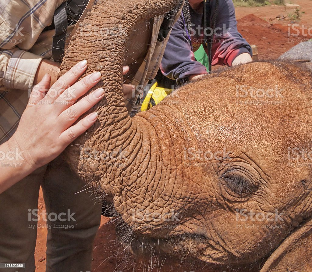 Baby elephant head with people hands flattering his trunk royalty-free stock photo