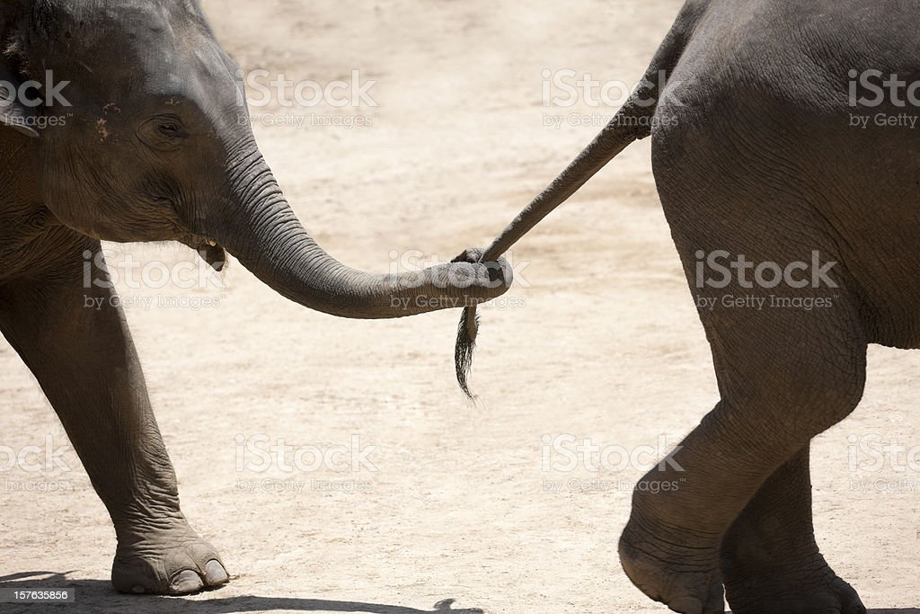 Baby elephant holding the tail of another. stock photo