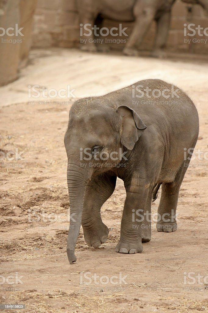 Baby Elephant royalty-free stock photo