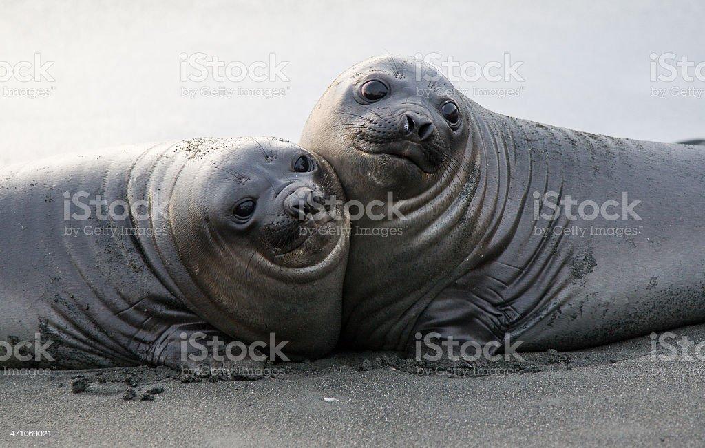 Baby Elephant Seals Cuddling stock photo