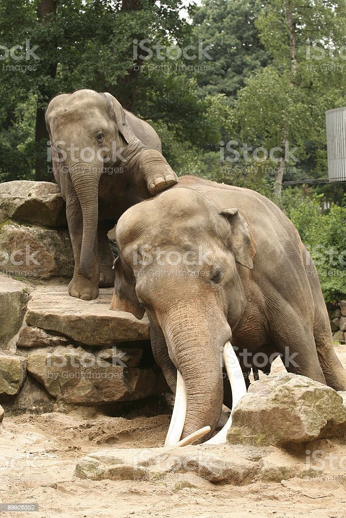 Baby elephant trying to climb on his dad royalty-free stock photo