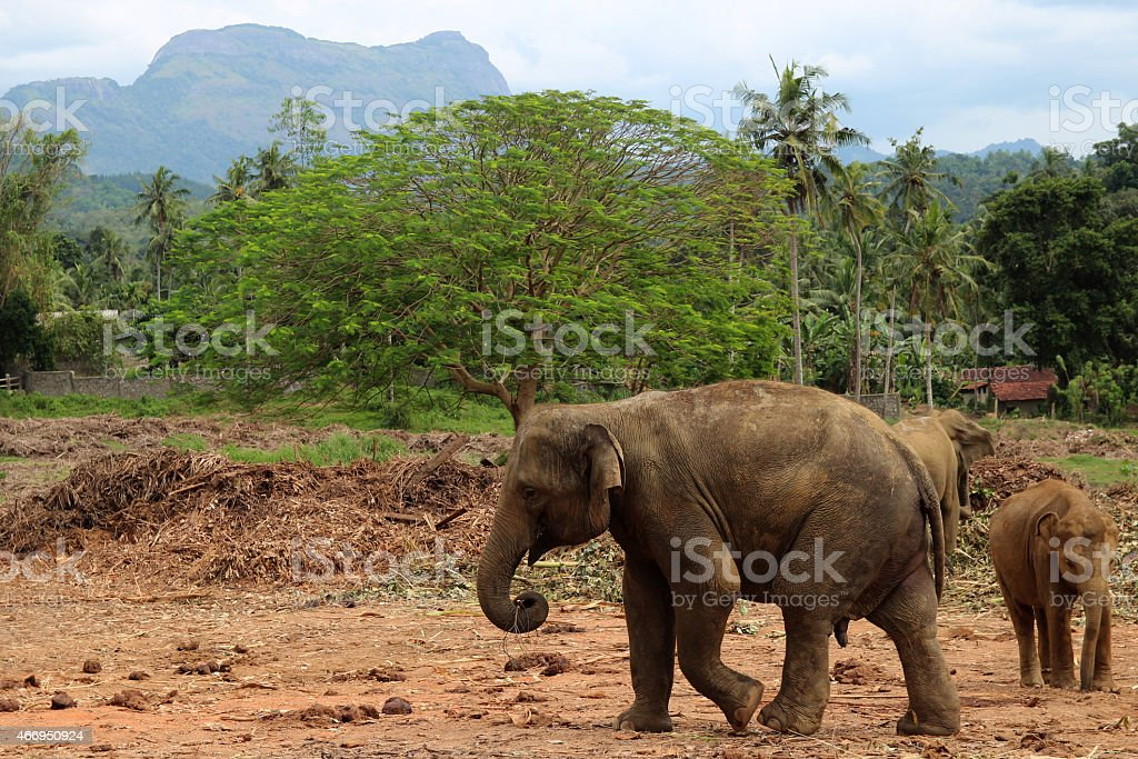 baby elephant walking in the jungle on the mountain background royalty-free stock photo