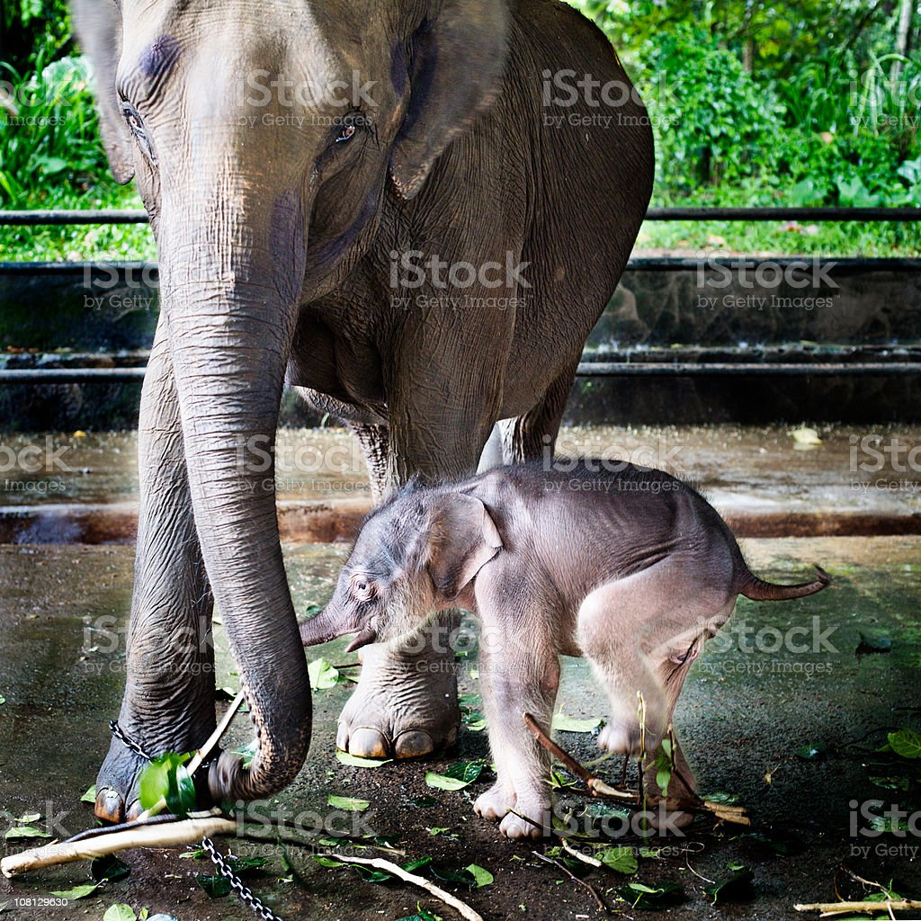 Baby Elephant with Mother at Orphanage royalty-free stock photo