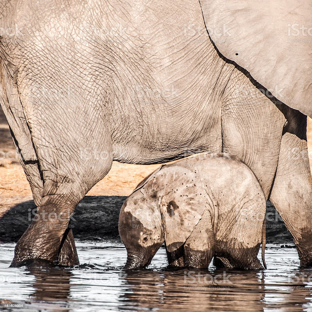 Baby Elephant with Mother at Waterhole stock photo