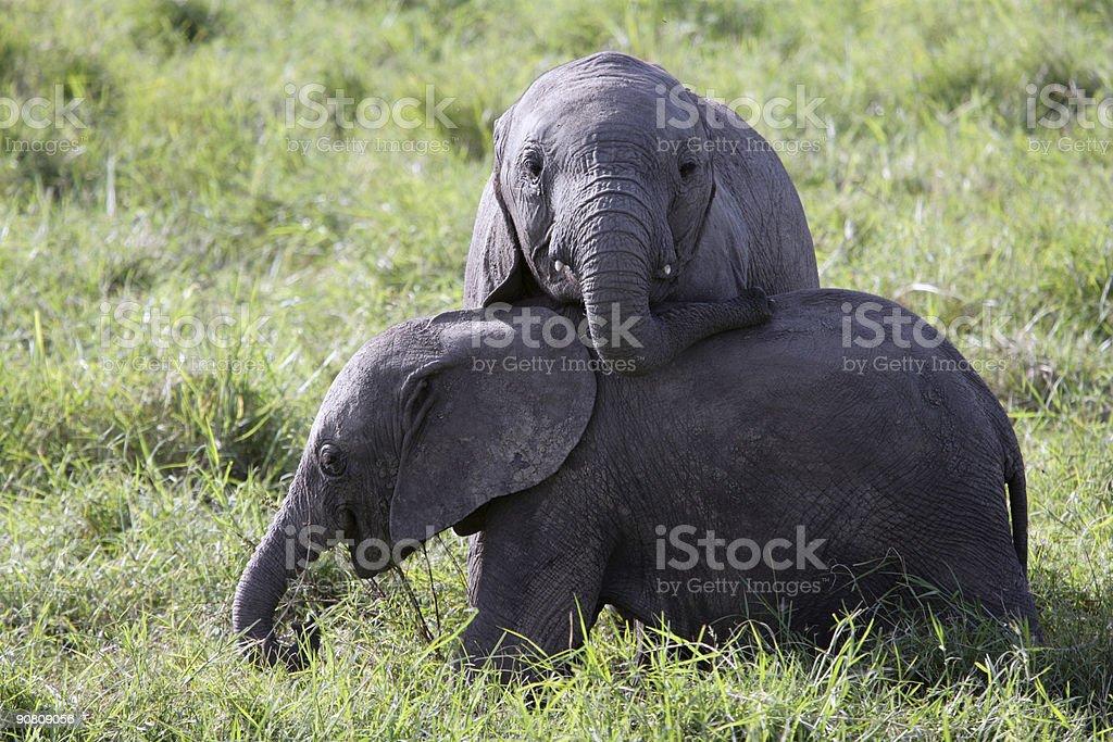 Baby Elephants at play royalty-free stock photo
