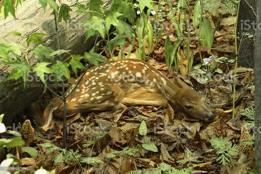 Baby Fawn Hiding In The Thicket royalty-free stock photo