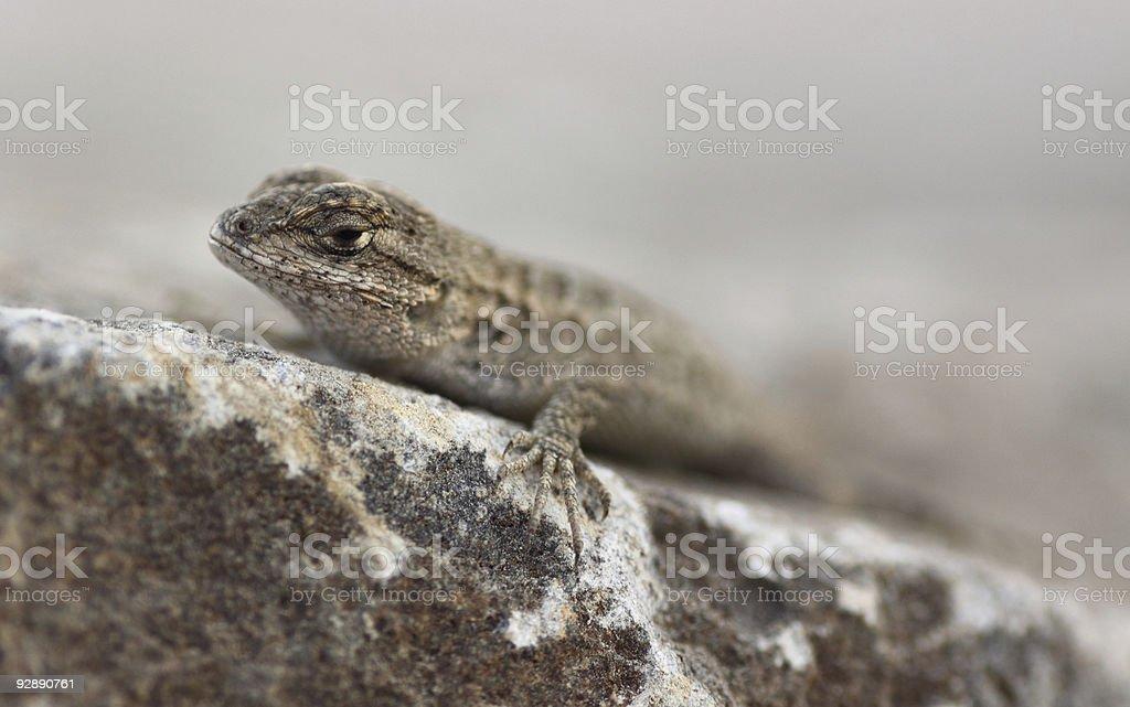 Baby Fence Lizard stock photo