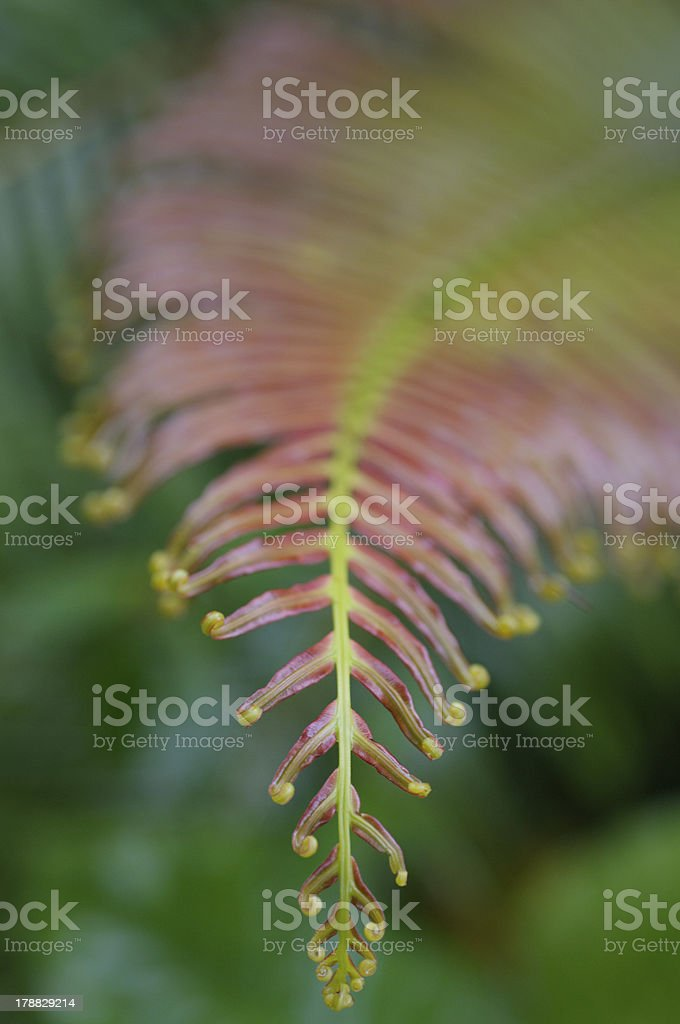 Baby fern leaf royalty-free stock photo